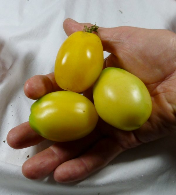 Heirloom tomatoes for sale, VINE RIPE Black Krim, Brandywine, Ceylon, Golden Egg, Pineapple, Mortgage Lifter, Cherokee Purple, Sungold yellow tomatoes, Pittsboro, Chatham County, NC North Carolina, Chapel Hill, Durham, PBO, Siler City, Moncure, Goldston, Bynum, Bear Creek, Bonlee.